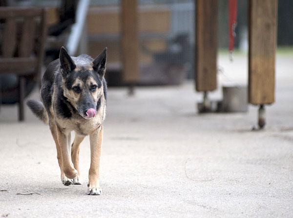 Yoshi, Schäferhund, 2006