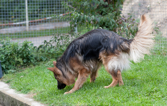 Rex, Schäferhund, 2014