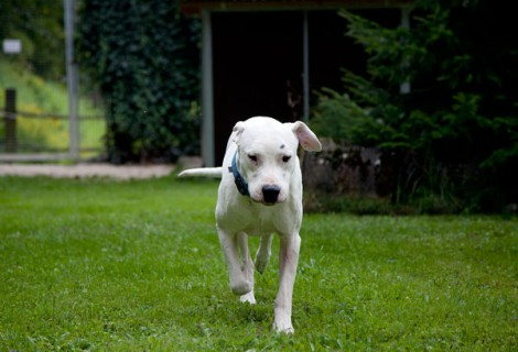 Zeus, Dogo Argentino, 2009