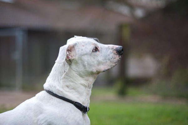 Odin, Dogo Argentino, 2009