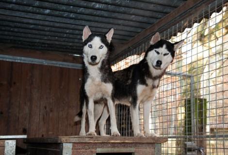 Alex und Lisa, Husky