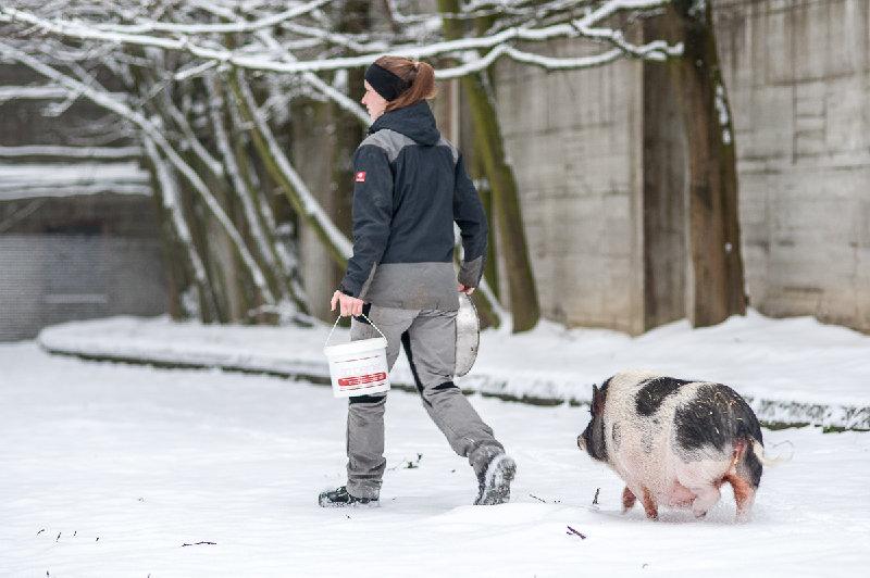 Piggy, Mini-Pig, ca. 2013
