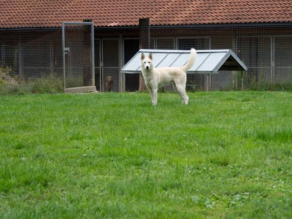 Dingo, Husky, 2011