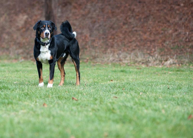 Rocky, Appenzeller, 2010