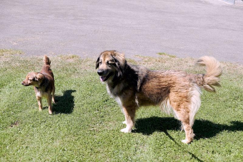 Marie, Leonberger Mischling, 2009