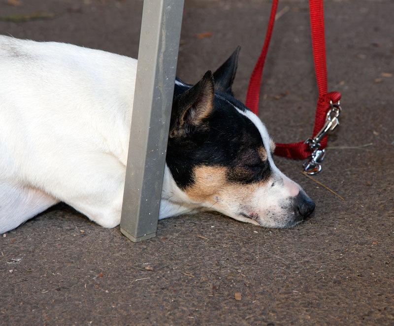 Felix, Terrier Mix, 2009