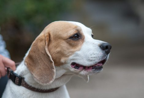 Emily, Beagle, 2008