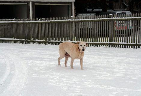 Lana, Labrador-Mix, 2004