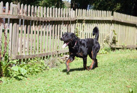 Ticco, Rottweiler, 15.02.2015