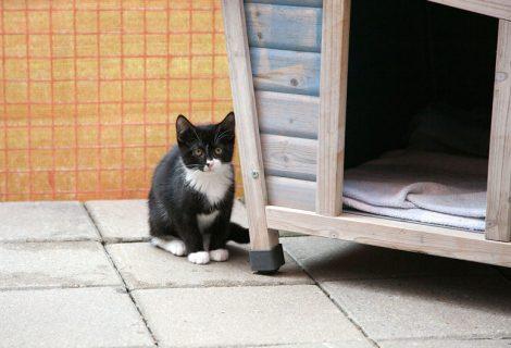 Kitten, EKH, geb. 2017
