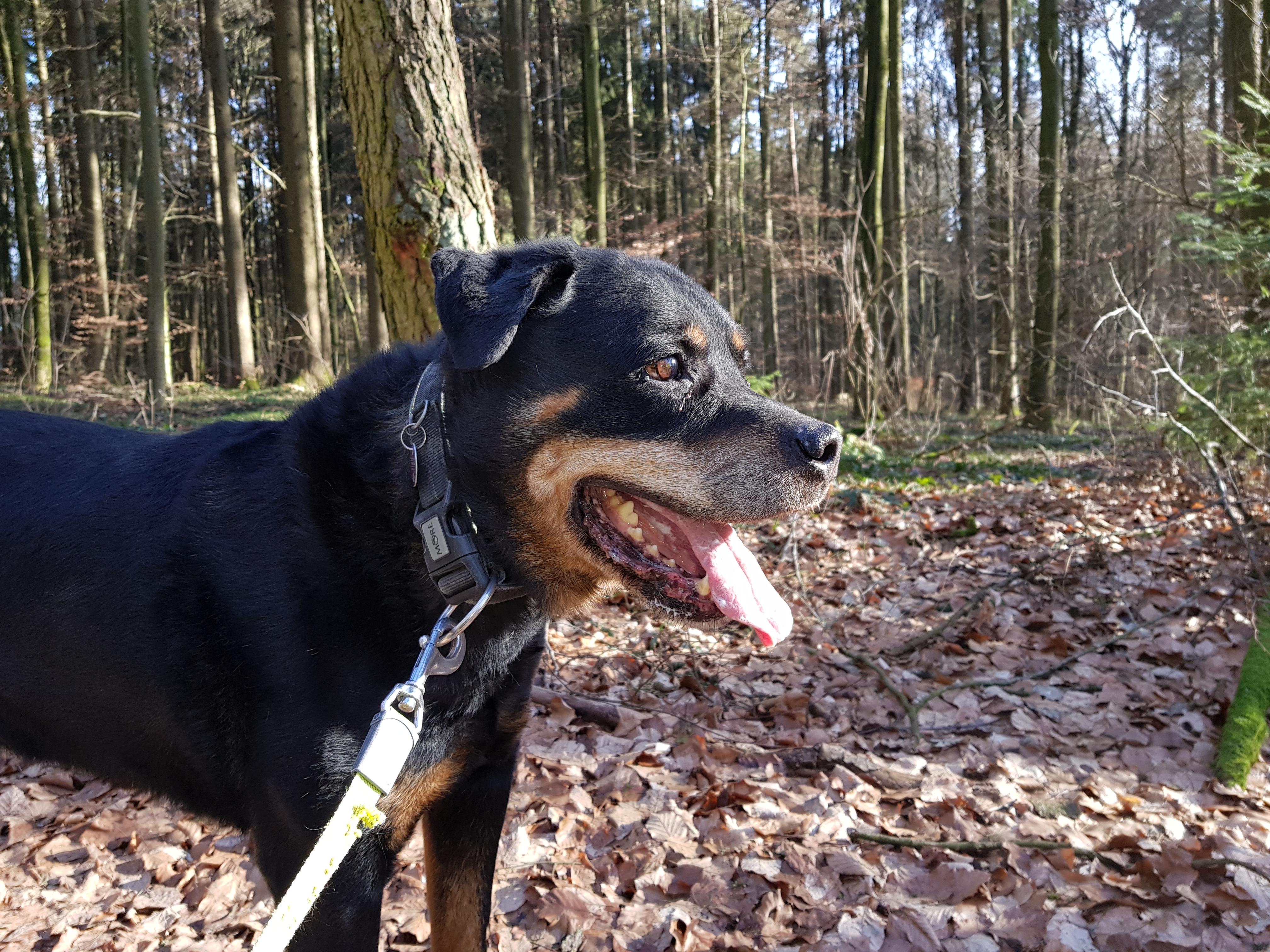 Balu, Rottweiler, geb. 2008