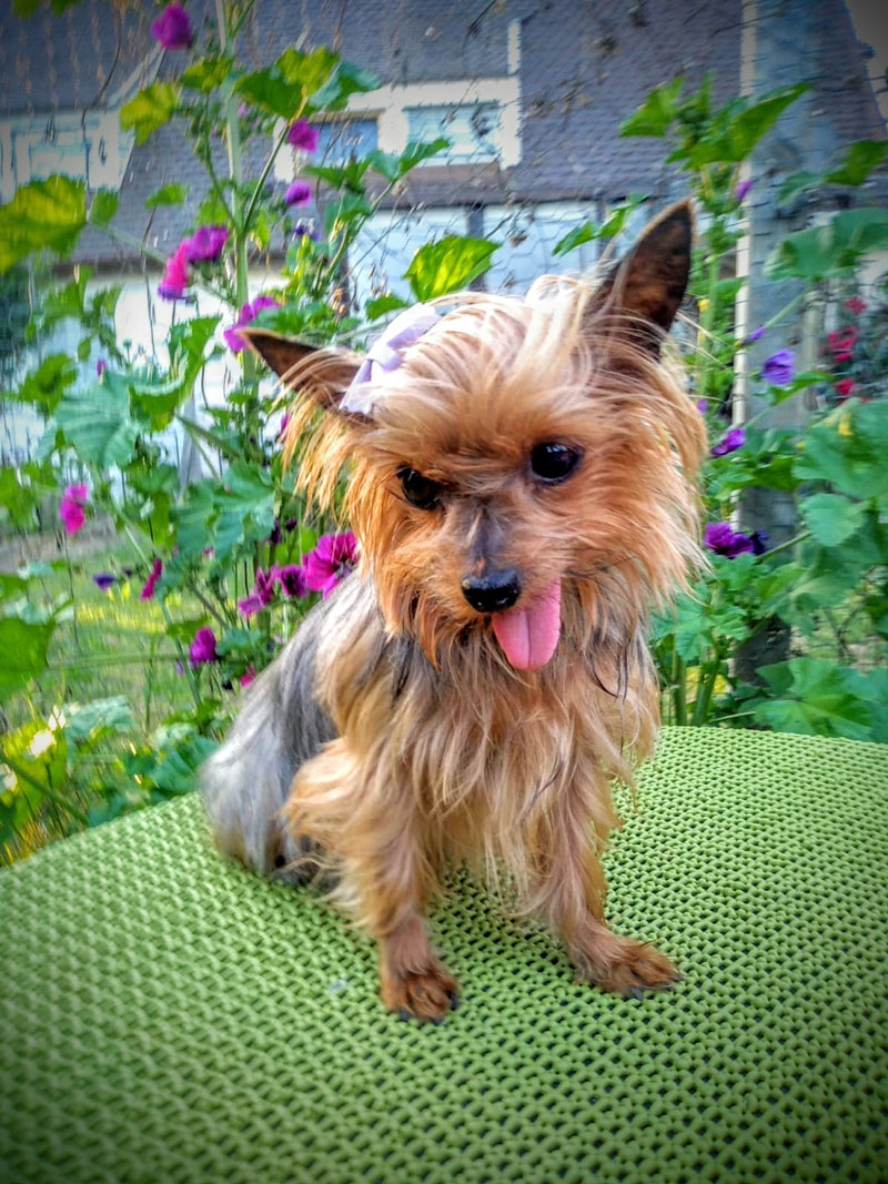 Coco, Yorkshire Terrier, 2009