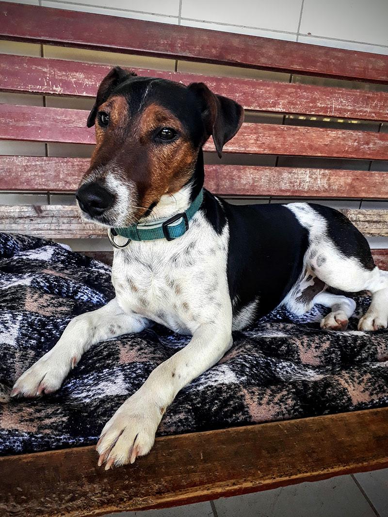 Rexi, Fox-Terrier, 2017