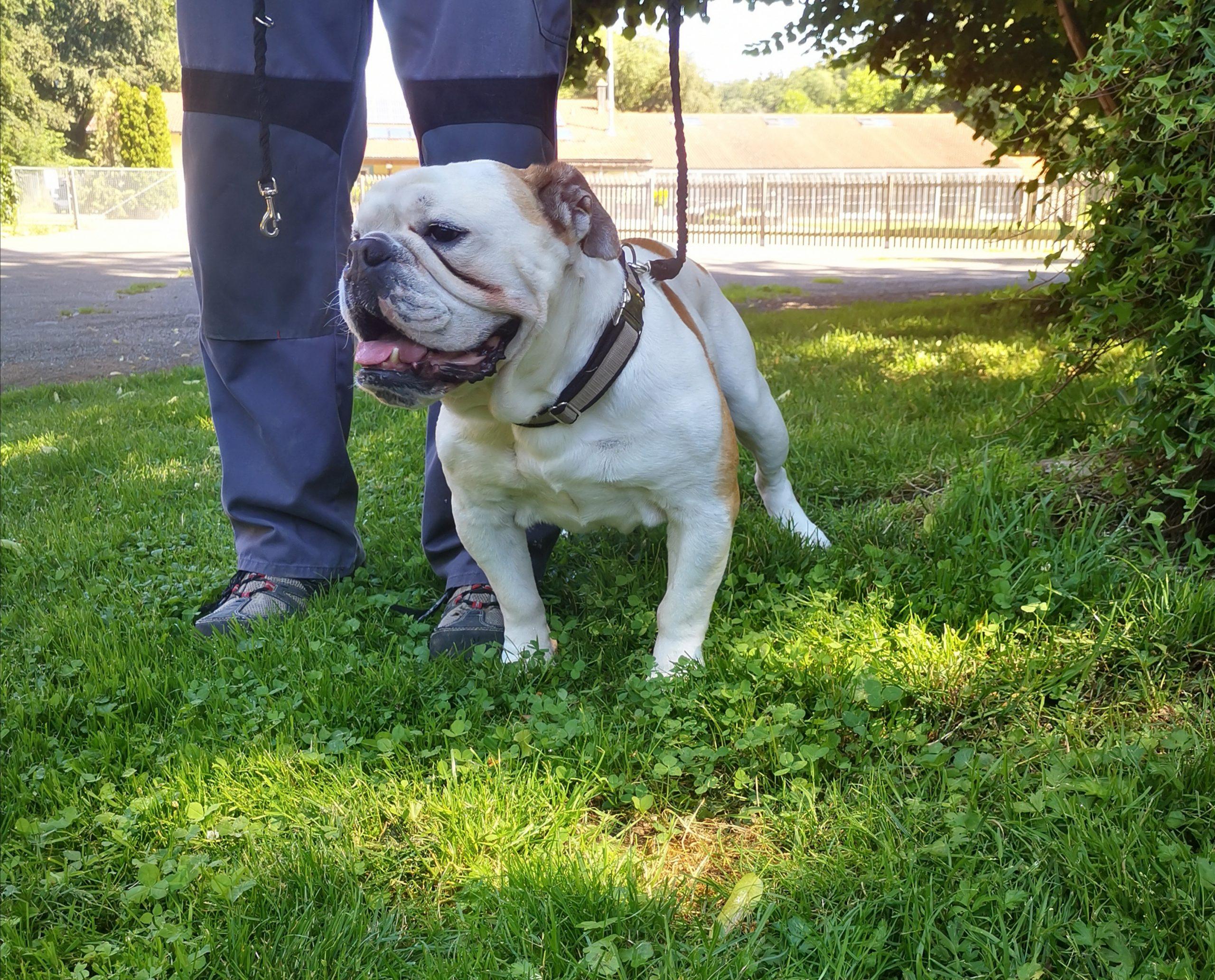 Max, engl. Bulldogge, 2014