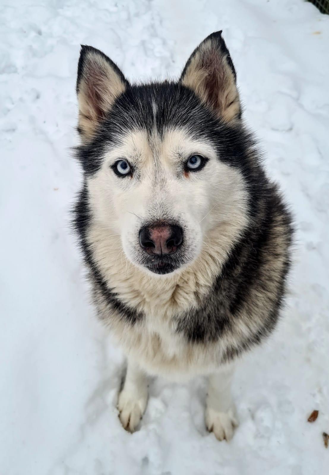 Ayla, Husky, 2009